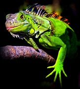 Iguana Metal Prints - Laziest Lizard Metal Print by Karen Wiles