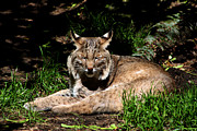 Bobcat Photo Framed Prints - Lazy Bobcat in the Sun Framed Print by Nick Gustafson