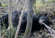 Jody Benolken - Lazy Day Black Bear