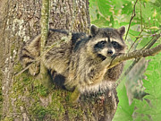 Raccoon Photo Posters - Lazy Day Raccoon Poster by Jennie Marie Schell