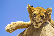 Baby Animal Photos - Lazy Lion by Diane Diederich