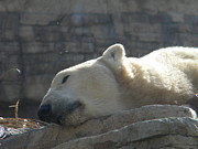 Amanda Eberly-Kudamik - Lazy Polar Bear