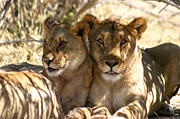 Lions Photo Prints - Lazy Sunday Print by Alison Kennedy-Benson