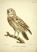 Audubon Drawings Posters - Le Chou Cou Hou Poster by Philip Ralley