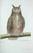 Audubon Drawings Posters - Le Ducou Grand Duc Poster by Philip Ralley