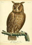 Audubon Drawings Posters - Le Grand Duc Poster by Philip Ralley