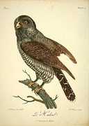 Audubon Drawings Posters - Le Huhul Poster by Philip Ralley