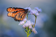 Tam Ryan - Le Papillon