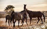 Wild Horses Framed Prints - Leader and the Mob Framed Print by Douglas Barnard