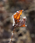 Dawn Hagar - Leaf and ice