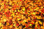 Fall Leaves Photos - Leaf Blanket by Paul W Faust -  Impressions of Light