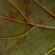 Abstract Nature Photography - Leaf Design I by Ben and Raisa Gertsberg