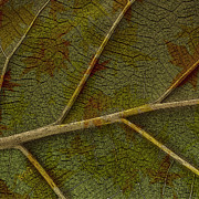 Abstract Nature Photography - Leaf Design II by Ben and Raisa Gertsberg