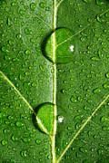 Macro Photo Originals - Leaf Dew Drop Number 10 by Steve Gadomski