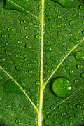 Leaf Originals - Leaf Dew Drop Number 8 by Steve Gadomski