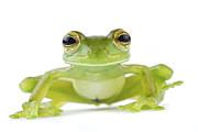 Leaf Frog Tapanti Costa Rica Print by Piotr Naskrecki