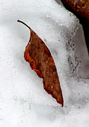 Karen Adams - Leaf in Snow