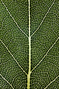 Tree Lines Digital Art Posters - Leaf Lines II Poster by Natalie Kinnear