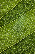 Green Foliage Digital Art Prints - Leaf Lines III Print by Natalie Kinnear