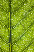 Green Foliage Digital Art Prints - Leaf Lines IV Print by Natalie Kinnear