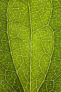 Macro Digital Art Framed Prints - Leaf Lines V Framed Print by Natalie Kinnear