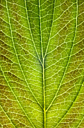 Green Foliage Digital Art Prints - Leaf Lines VIII Print by Natalie Kinnear