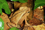 Forest Floor Photos - Leaf Litter Toad Bufo Typhonius by Michael and Patricia Fogden