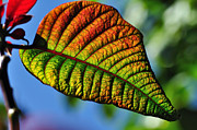 Yellow Leaf Photos - Leaf of the Poinsettia by Kaye Menner