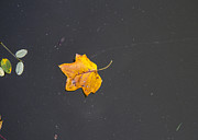 Autumn Leaf On Water Metal Prints - Leaf on Water Study  Metal Print by Tim  Fitzwater