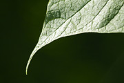Leaf Print by Tony Cordoza