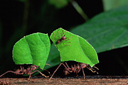 Ant Art - Leafcutter Ant Atta Sp Group Workers by Michael and Patricia Fogden