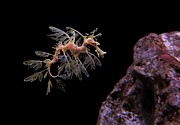 Leafy Sea Dragon Posters - Leafy Sea Dragon Poster by Jonathan Sabin