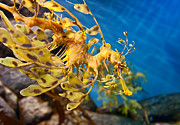 Phycodurus Eques Prints - Leafy Sea Dragon Phycodurus eques. Print by Jamie Pham
