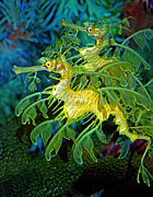 Aquatic Life Posters - Leafy Sea Dragons Poster by Donna Proctor