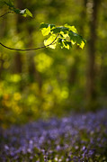 Izzy Art - Leafy wood with bluebells by Izzy Standbridge