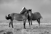 Wild Horses Photo Prints - Lean on Me B and W Wild Mustang Print by Rich Franco
