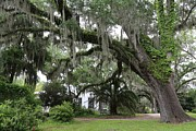 Tallahassee Prints - Leaning Live Oak Print by Carol Groenen