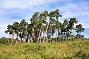 Sussex Digital Art Prints - Leaning Trees on the Ashdown Forest Print by Natalie Kinnear