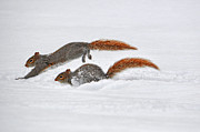 Squirrel Prints - Leap Squirrel Print by Emily Stauring