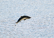 Fishing Photo Originals - Leaping Chinook by Mike  Dawson