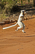 Michele Burgess - Leaping Lemur