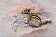 Chipmunks Framed Prints - Least Chipmunk #2 Framed Print by Betty LaRue