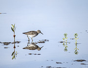 Calm Waters Digital Art Framed Prints - least Sandpiper in with mangrove shoots Framed Print by Gail Campbell