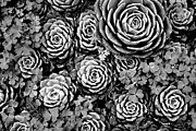 Rosette Posters - Leaves and Succulents Poster by James Brunker