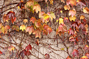 Chattanooga Tennessee Photos - Leaves and Wall by Tom and Pat Cory