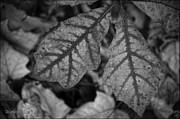 LeeAnn McLaneGoetz McLaneGoetzStudioLLCcom - Leaves in Fall Monochrome