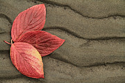 Brent Davis Posters - Leaves on Sand Poster by Brent Davis