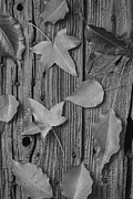 Knothole Prints - Leaves still life Print by Garry Gay