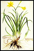 Bud Drawings Posters - Lemon Daylily Botanical Poster by Rose Santuci-Sofranko