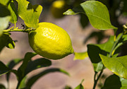 Steven Ralser Prints - Lemon tree very pretty Print by Steven Ralser